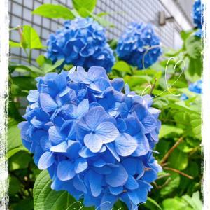 *。✺  *6月スタート!紫陽花がキレイですね*。✺  *
