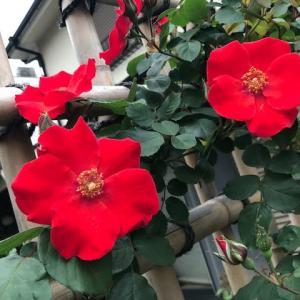 ハムスターの寝言と一重のバラ