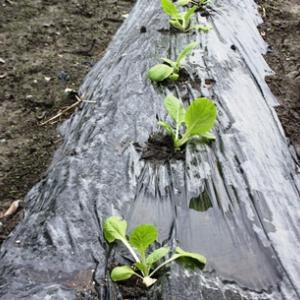 白菜植え付け