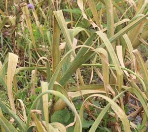 白ニンニク収穫