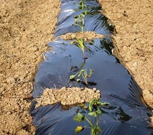 サツマイモ苗植え付け