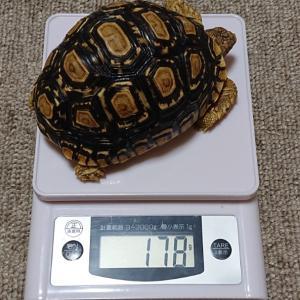 ヒョウモンガメの体重測定。