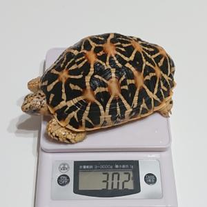 ホシガメの体重測定。