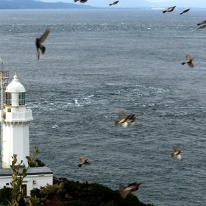 ヒヨドリの渡り。佐田岬灯台から豊予海峡を抜け九州・沖縄へ。