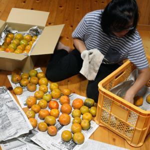 横浜の実家に送る柿を選別する奥さん。