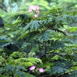 自宅の合歓の木が花を咲かせはじめました。