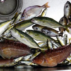ササノハベラ、キュウセン、マダイ、豆アジ、小カンパチ。~三瓶・有網代の波止での釣果・Part9~