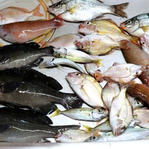 久しぶりのヘチ釣りでグレ(メジナ)、ベラ、小鯛釣る。~三瓶・有網代の波止での釣果・Part18~