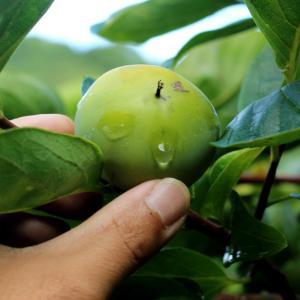 柿の実の生長具合。