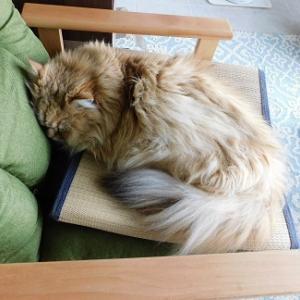 『レオンくん椅子で寝る!?』