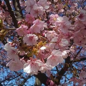 河津桜がいい感じです