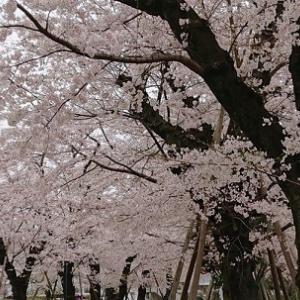 桜の満開の中、シャンシャンのニュース