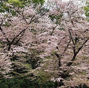 井の頭公園の名残の桜