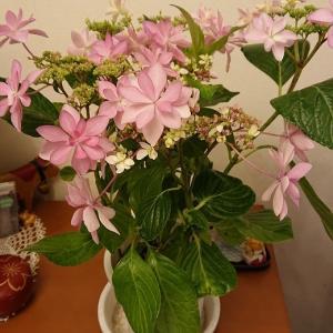 ピンクの花で、部屋が明るく!