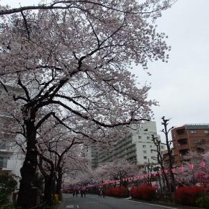 お花見散歩 播磨坂から小石川後楽園へ