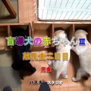 ママ犬日誌 3-20(27日齢)離乳食二日目-完食-