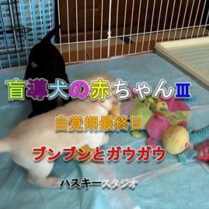 ママ犬日誌 3-22(28日齢)自覚期最終日