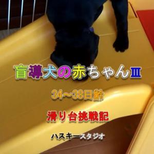 ママ犬日誌 3-32(38日齢)滑り台への挑戦