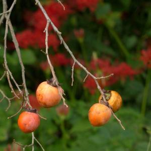 柿の季節です