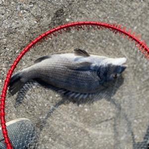 8月1日 天草市軍ヶ浦漁港へカゴ釣りに行く