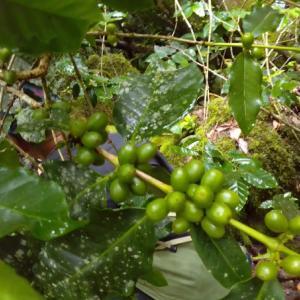 ロタ島でコーヒーができる!