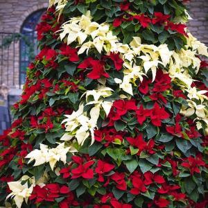 Poinsettia*はままつフラワーパーク