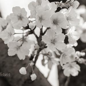 「桜は来年も帰ってきます。人の命は帰ってきません」