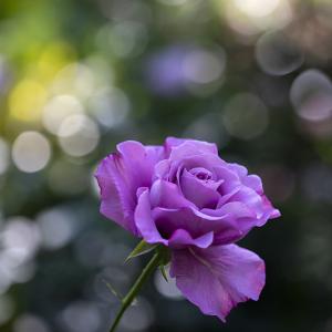 紫の薔薇が似合う貴方へ。