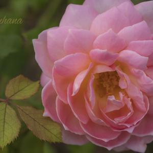 麗しき薔薇たち。