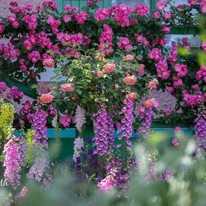 浜名湖ガーデンパーク*花美の庭 バラの大アーチ通り抜け始まります。