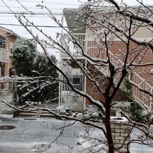 桜満開の日に雪
