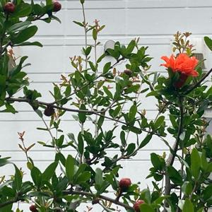 ざくろの花
