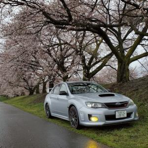 近所の桜は八分咲き