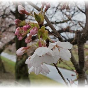 近所の桜はほぼ満開