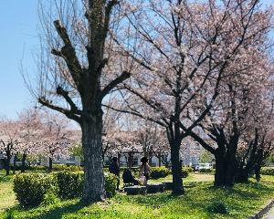 桜の花道をスーパームーンに照らされて