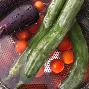 裏庭夏野菜収穫とそれを狙う犬