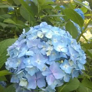 鶴見緑地公園の紫陽花とバラと人工の滝♪