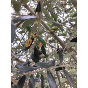 初めて花が咲いた? シンボルツリーオリーブの木