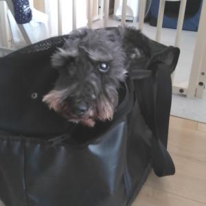 保護犬【ぜん】不調とトリミング