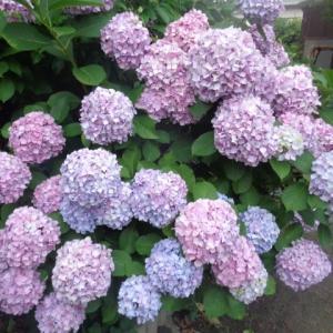 まんまる紫陽花