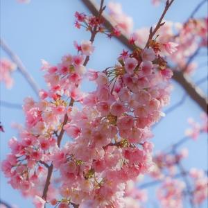 早咲きの桜は満開です