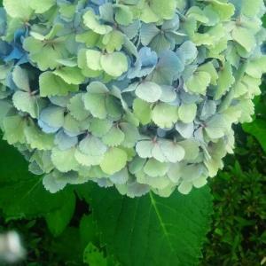 六月の花には、雨が最高のキャンバスになる