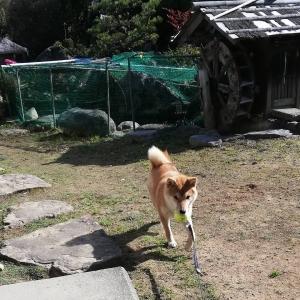 お犬様とのお庭遊びと眠いお猫様。。(7年235目)【2792日目】<187日目>