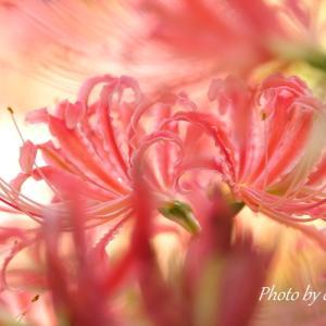 *pink。。~4色の*彼岸花*横浜 西方寺~1♪