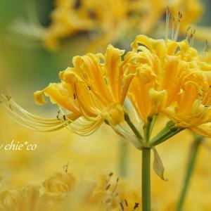 *yellow。。~4色の*彼岸花*~横浜 西方寺 2♪