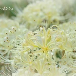 *白。。~4色の*彼岸花* 横浜 西方寺~3♪