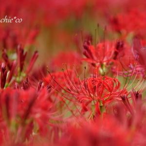 *赤。。~4色の*彼岸花* 横浜 西方寺~4(終)♪