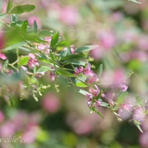 *淡く香る 萩の花~♪