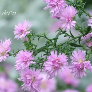 *pink and white。。 孔雀アスターの花たち。。♪