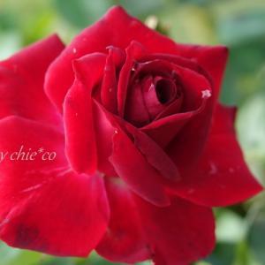 *紅い薔薇たち。。~花菜ガーデン~1♪